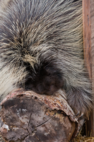Porcupine - 1 by Lonewolf-Eyes