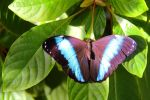 Morpho achilles by TheSleepyRabbit