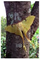 Malaysian Moon Moth (2) by kiew1