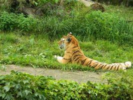 a tiger 0.0 but it was at a zoo by o0oO-araceli-Oo0o