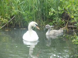 beautiful swans by 95JEH
