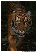 Tiger approaching by TVD-Photography