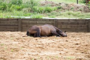 Km old TB laying rolling 2 by Chunga-Stock