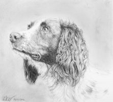 Springer Spaniel by TamarViewStudio