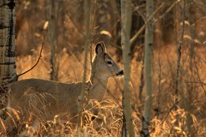 Golden sun bathed deer by sgt-slaughter