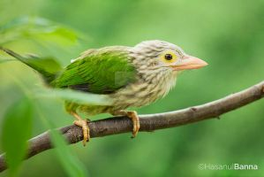 Lineated Barbet by Banna19