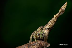 Tree Stump Spider by melvynyeo