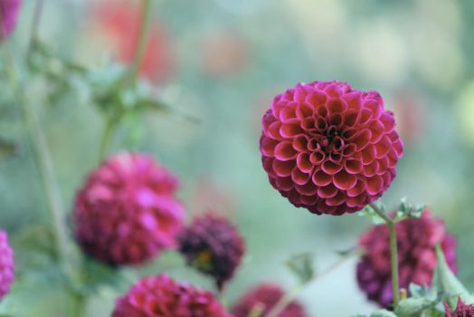 Last dahlias of fall by TimeElf