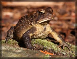 American Toad 40D0029616 by Cristian-M