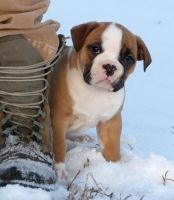 Avery by NobleBulldogges