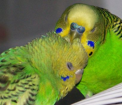 preening couple by parrots4life