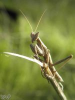 A tiny mantis by Tomer-DA