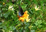Black Swallowtail on Orange Dahlia side view by ZenEinKodama