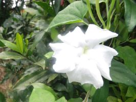 White Flower by LordAnthon