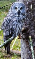Great Grey Owl3 by PictureByPali