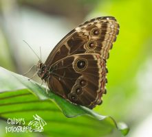 butterfly by CindyPhotograph
