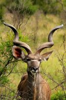 The Great Kudu by parallel-pam