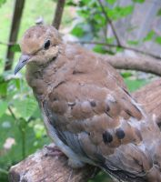 Placid Mourning Dove 3a by Windthin