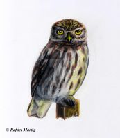 Little Owl by RafaelDavid