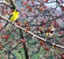 Gold Finch Pair by jerrinator