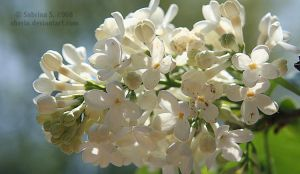 White Lilac by aheria
