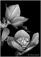 Monochrome Flower II by lukias-saikul