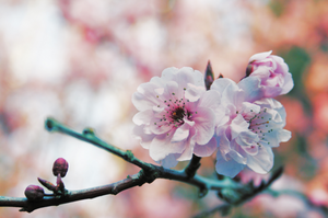 cherry blossoms 2 by iokangel