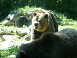 Grizzly Bear 24 by Unseelie-Stock
