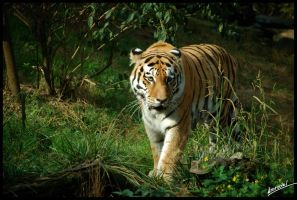 Panthera Tigris Altaica by amrodel