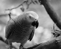 African Grey by lecairde