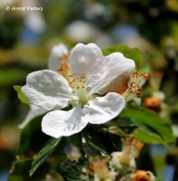 Apple blossom /  Apfelbluete by bluesgrass