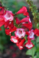 Red Bells II by azieser