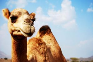 - Camel  - by starlet123m