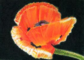 SOLD - Drawn to Help 4.5: Papaver by theperian