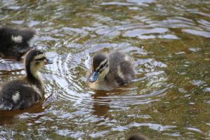 Baby duck by Bumsan