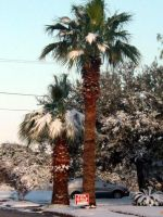 Palm trees in the snow by smokerette