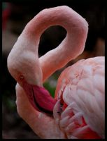 flamingos grace by morho