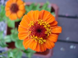 orange zinnia by Kibo94