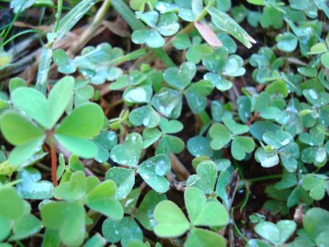Kaneohe Clover by pyra
