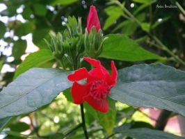A red Flower by asiaibr