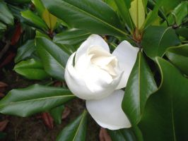 Summer White - Magnolia 4 by WalnutHill