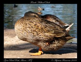Female Mallard Duck by sicmentale