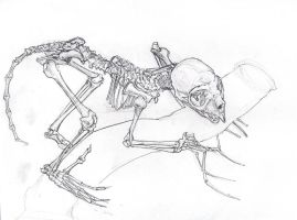 Aye Aye skeleton study by Twolan