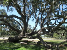 Dave\'s Pics 2 306 Florida Vac 2014 Zacchaeus Tree by crazygardener