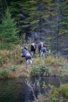 Moose 11 by JohnMeyer