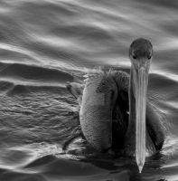 Pelican by DavidLPhotography