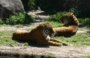 Indochinese Tigers by SmellsLikeDookie