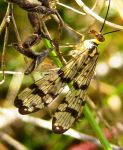 Scorpion Fly 5 by iriscup