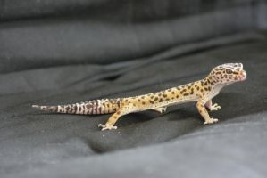 Leopard Gecko 12 by sd-stock