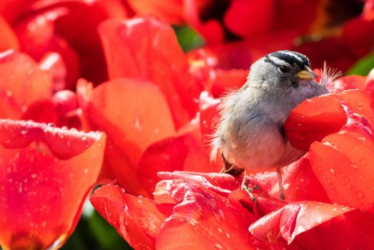 bird in the tulips by ringmale